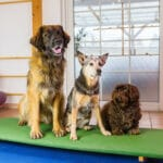 Hunde auf Wippe bei Hundephysiotherapie